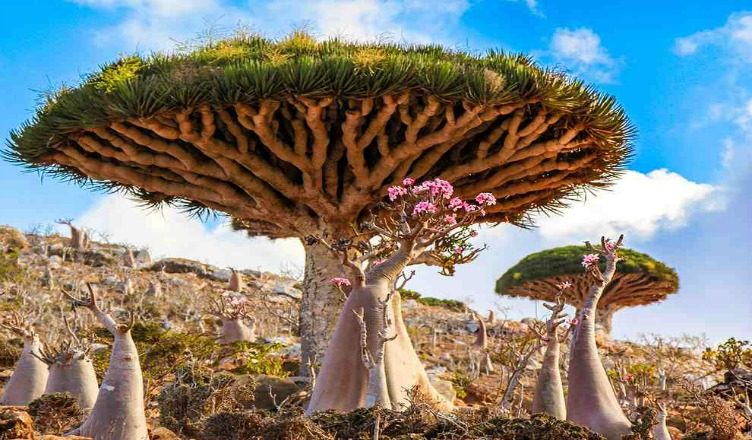 Socotra Island - Dragons Blood Tree