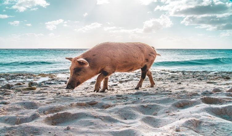Pig Beach Bahamas Facts: Adorable Creature You Can Visit In
