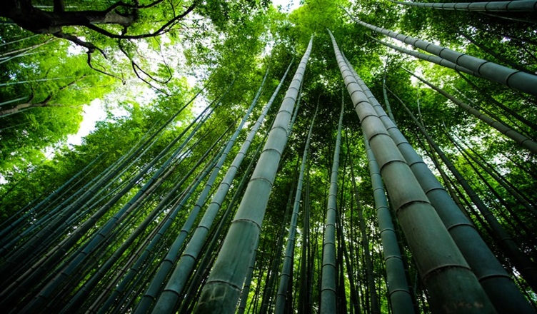 Sagano Bamboo Forest Japan - World's Amazing Forest Travel Destination