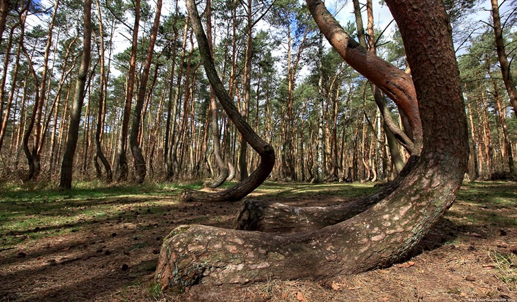 Crooked Forest Krzywy Las - Poland